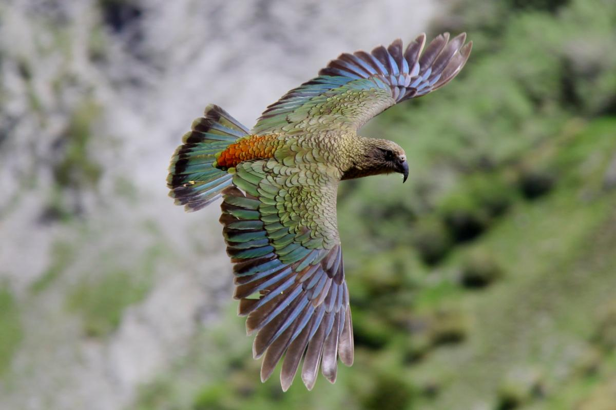Kea New Zealand Birds Online Parrot Diagram Page 2 Deaths Corner Lookout Arthurs Dorsal View Of Adult In Flight Upper Kowhai Stream Seaward Kaikoura Range