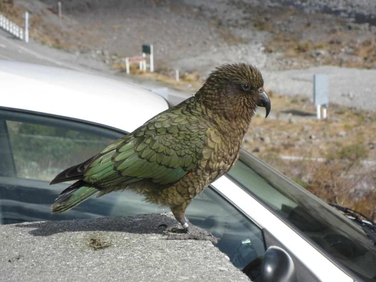 Kea New Zealand Birds Online Parrot Diagram Page 2 Image Copy Corey Mosen Adult With Feathers Fluffed Up Arthurs Pass September 2011