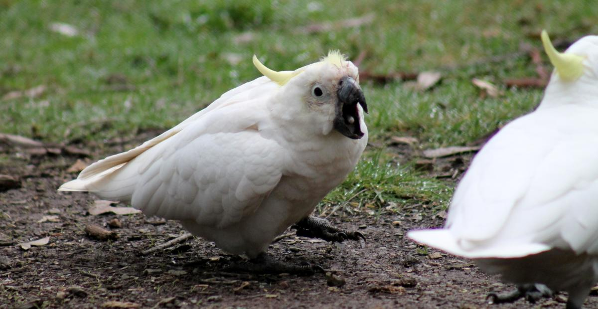 Sulphur-crested cockatoo | New Zealand Birds Online