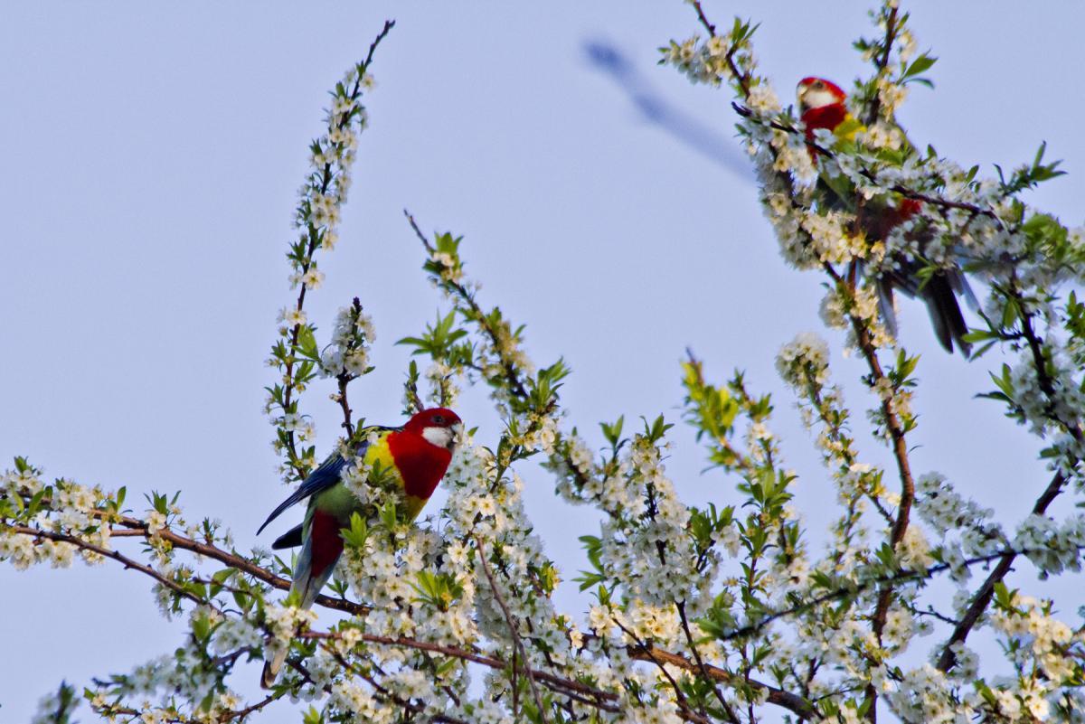 Eastern rosella | New Zealand Birds Online
