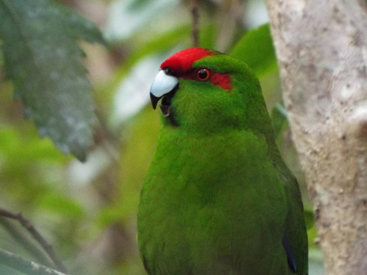 Red-crowned parakeet | New Zealand Birds Online