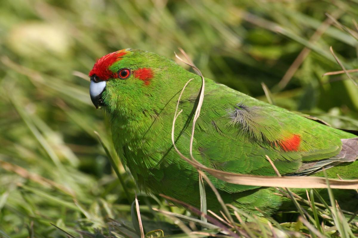 New Zealand Birds Online