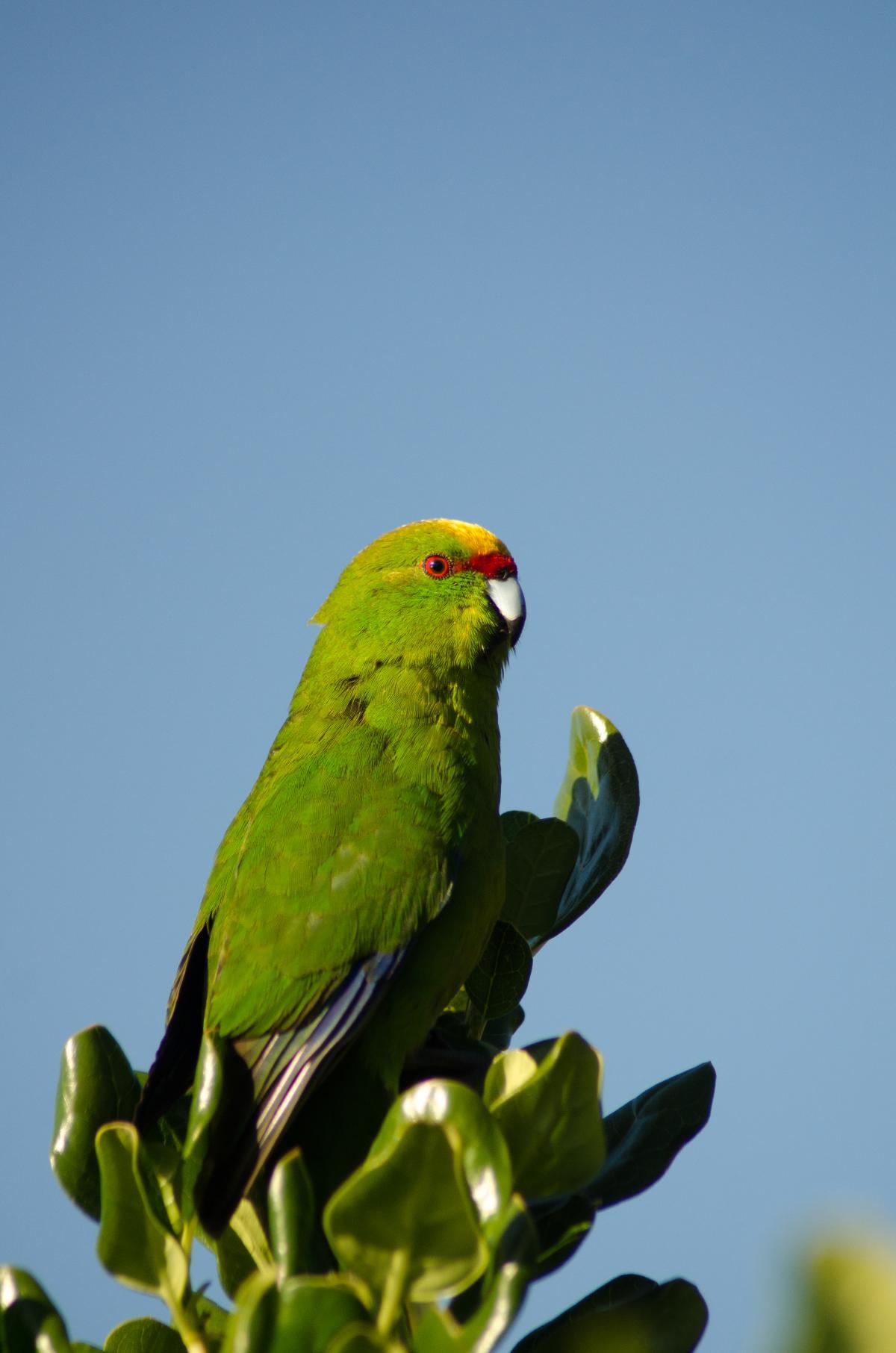 Yellow-crowned parakeet   New Zealand Birds Online