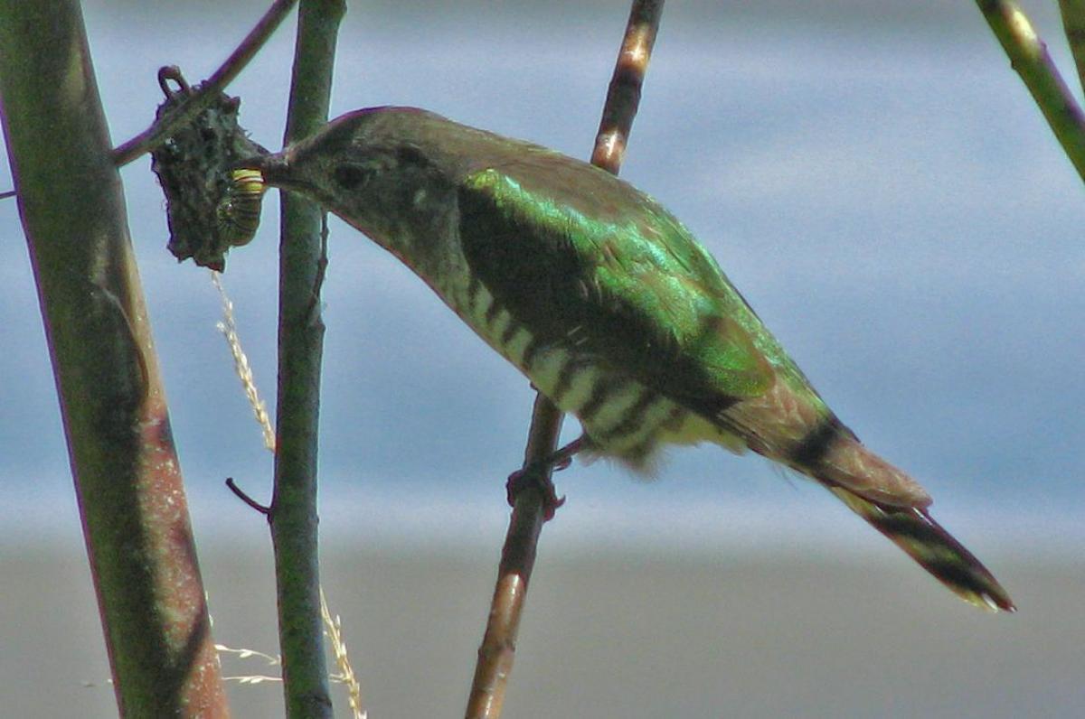 Shining cuckoo   New Zealand Birds Online