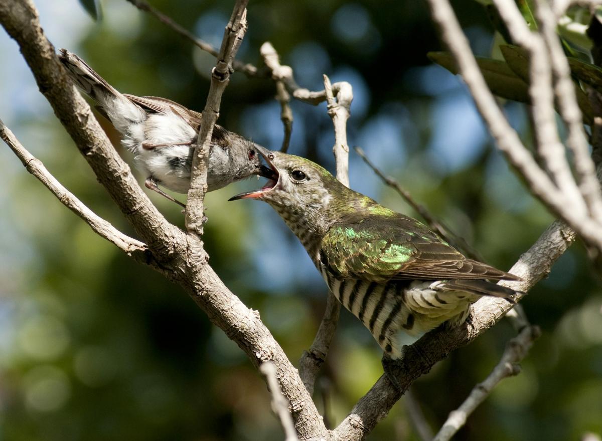 Sandy Bay Whangarei Shining Cuckoo Fledgling Being Fed By Grey Warbler November