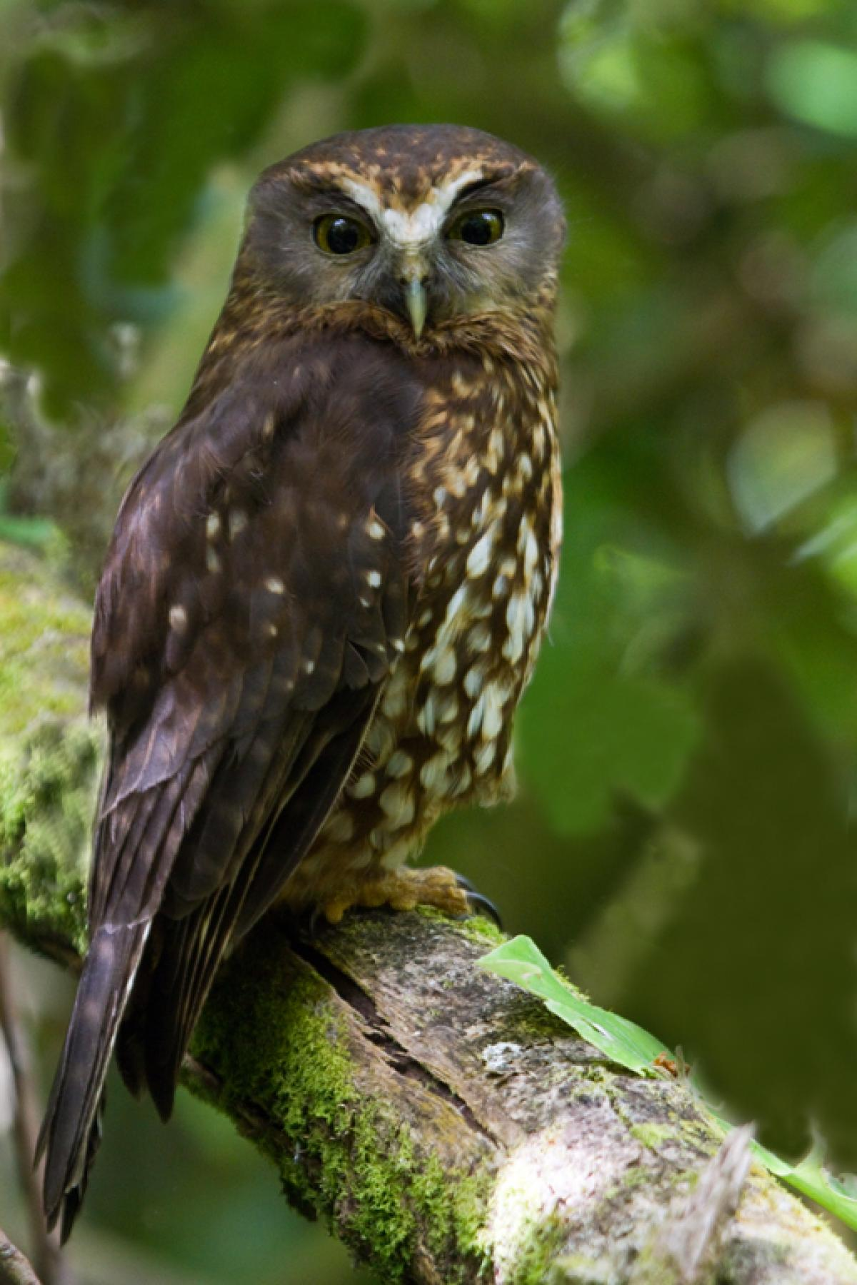 morepork new zealand birds online