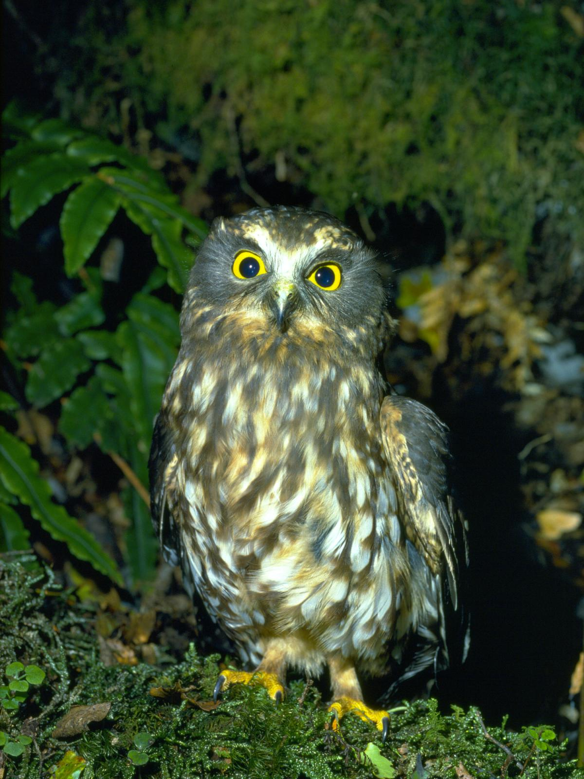Little Yellow Bird >> Morepork | New Zealand Birds Online
