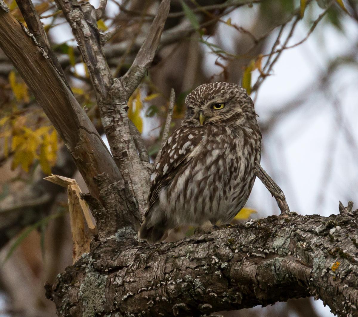 Little Owl New Zealand Birds Online