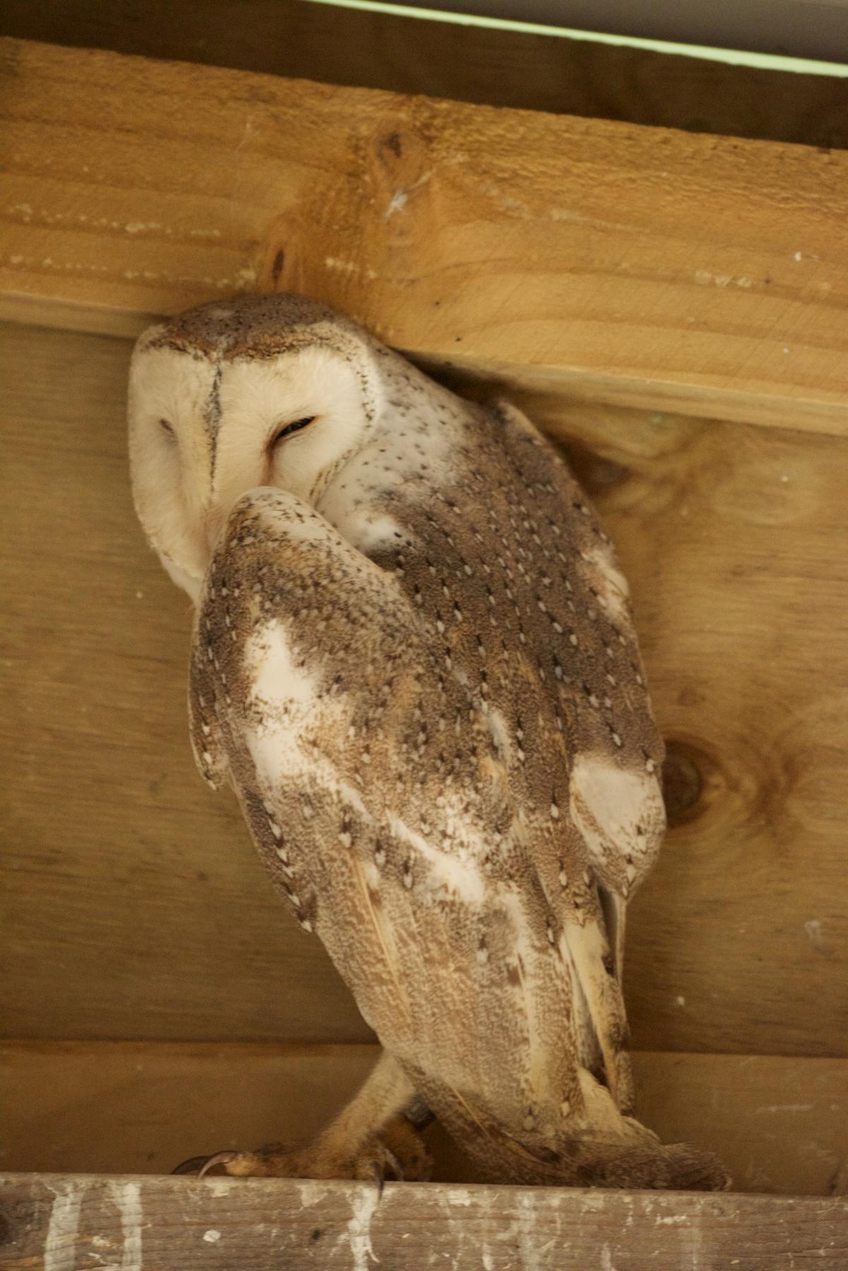 California NatureMapping - Barn Owl Fact Sheet