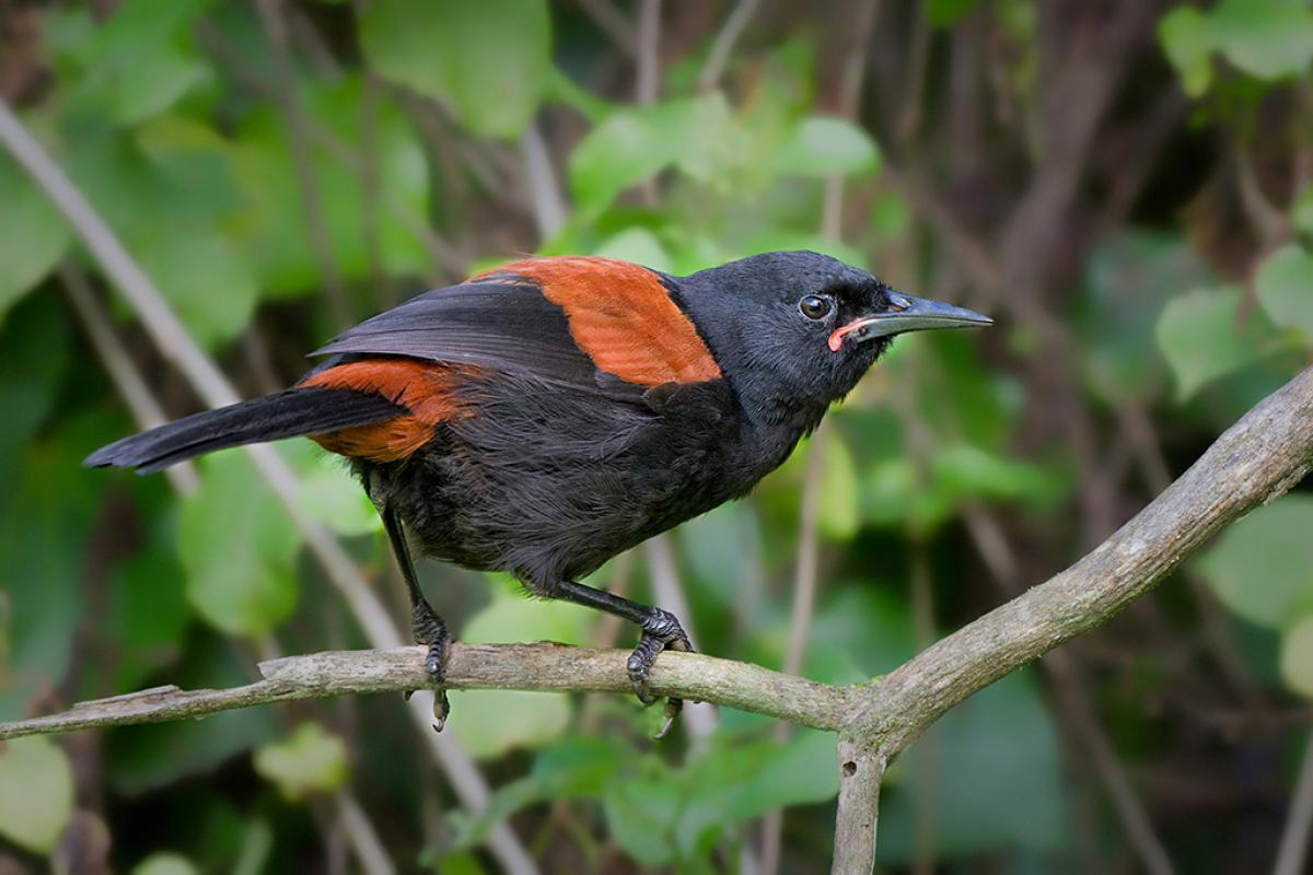 North Island Saddleback New Zealand Birds Online