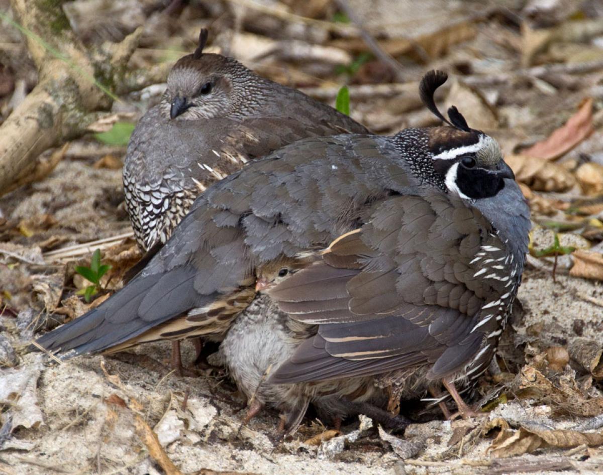 california quail new zealand birds online