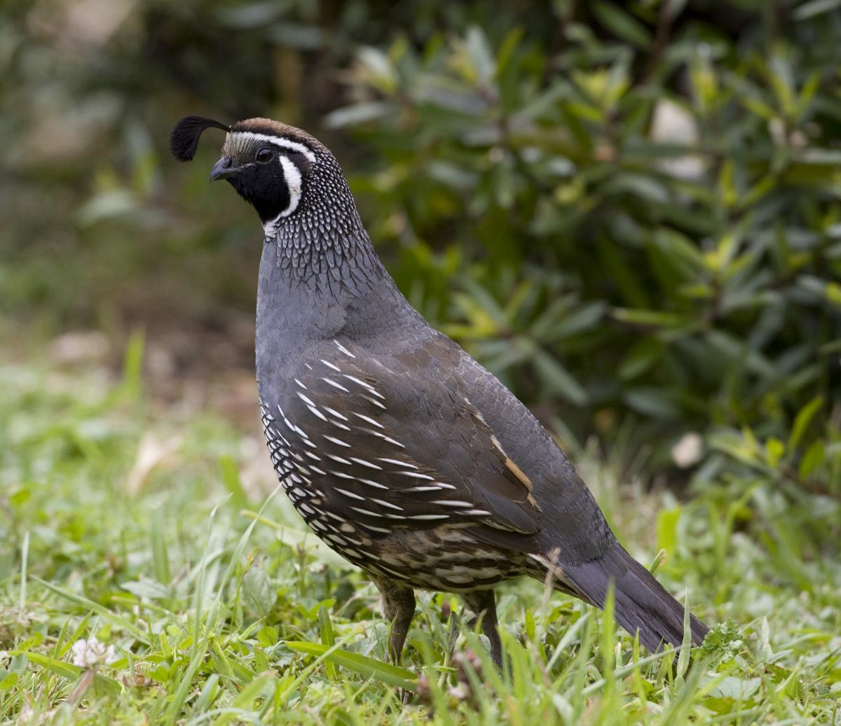 california quail new zealand birds