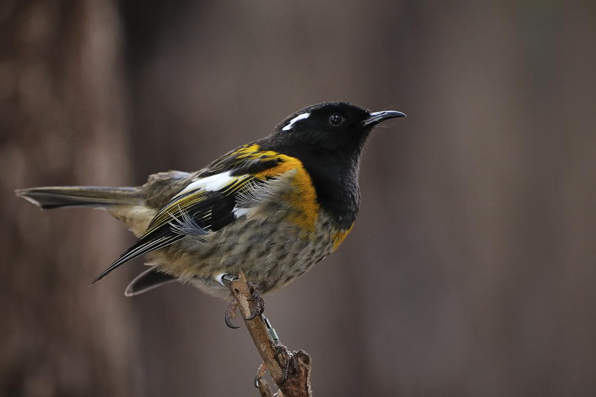 Home page   New Zealand Birds Online