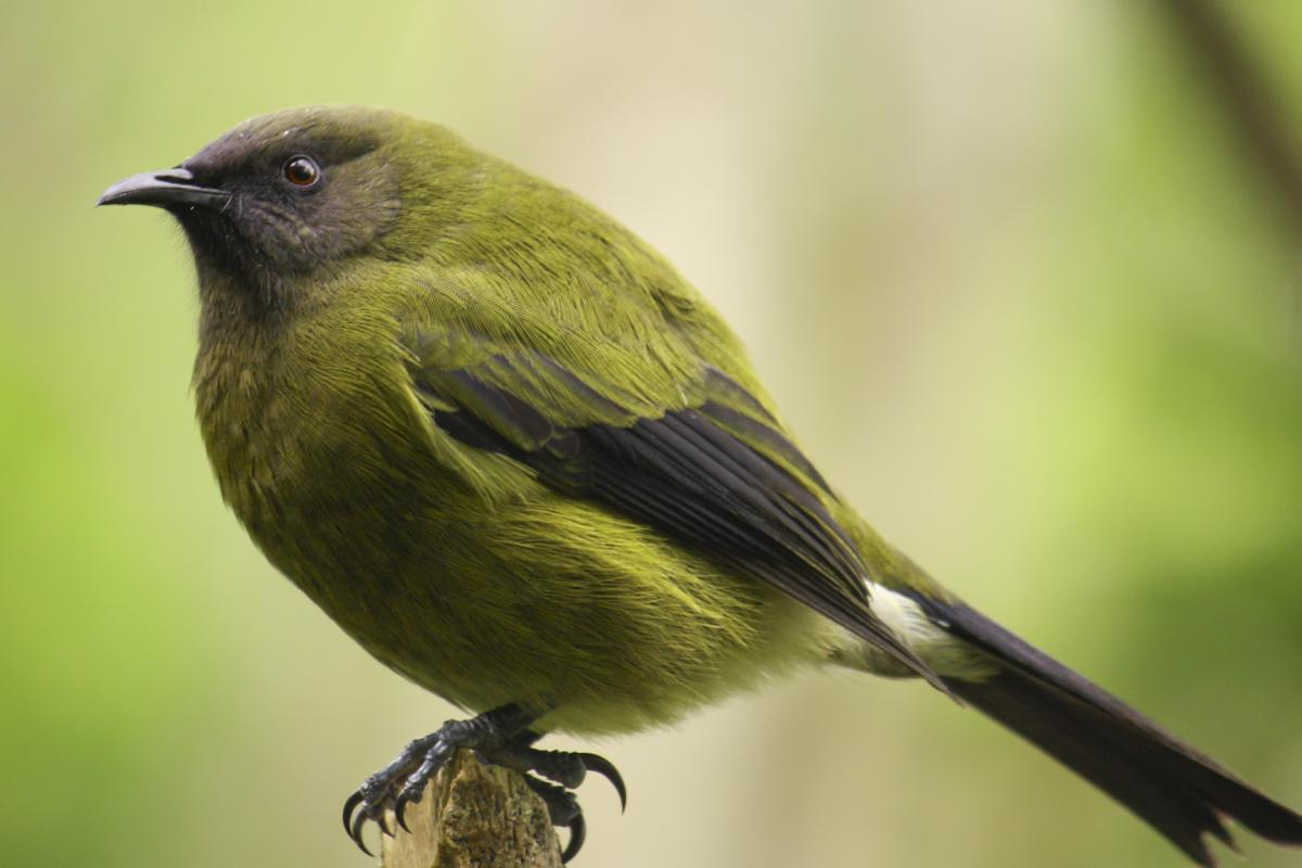Bellbird | New Zealand Birds Online