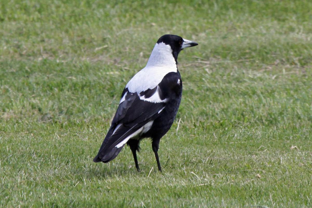 Australian magpie | New Zealand Birds Online - photo#20