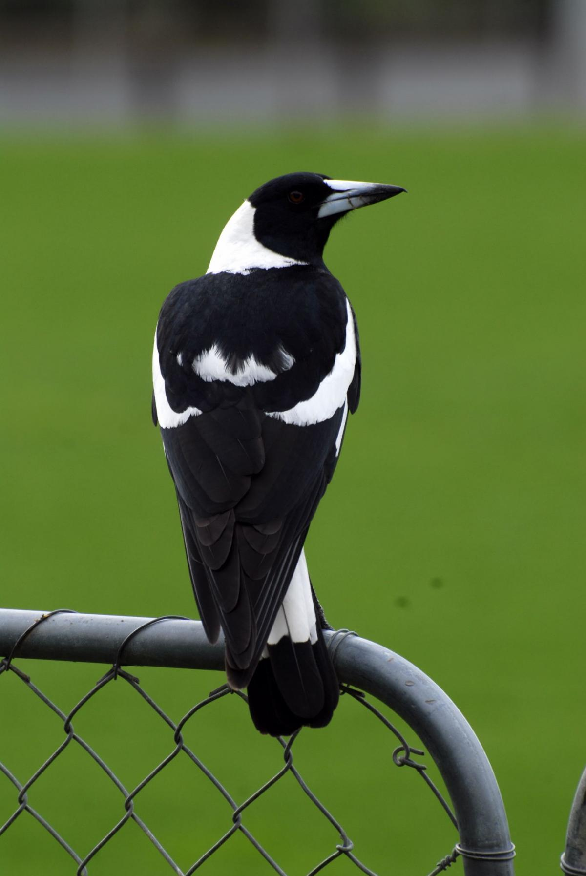 Australian Magpie New Zealand Birds Online