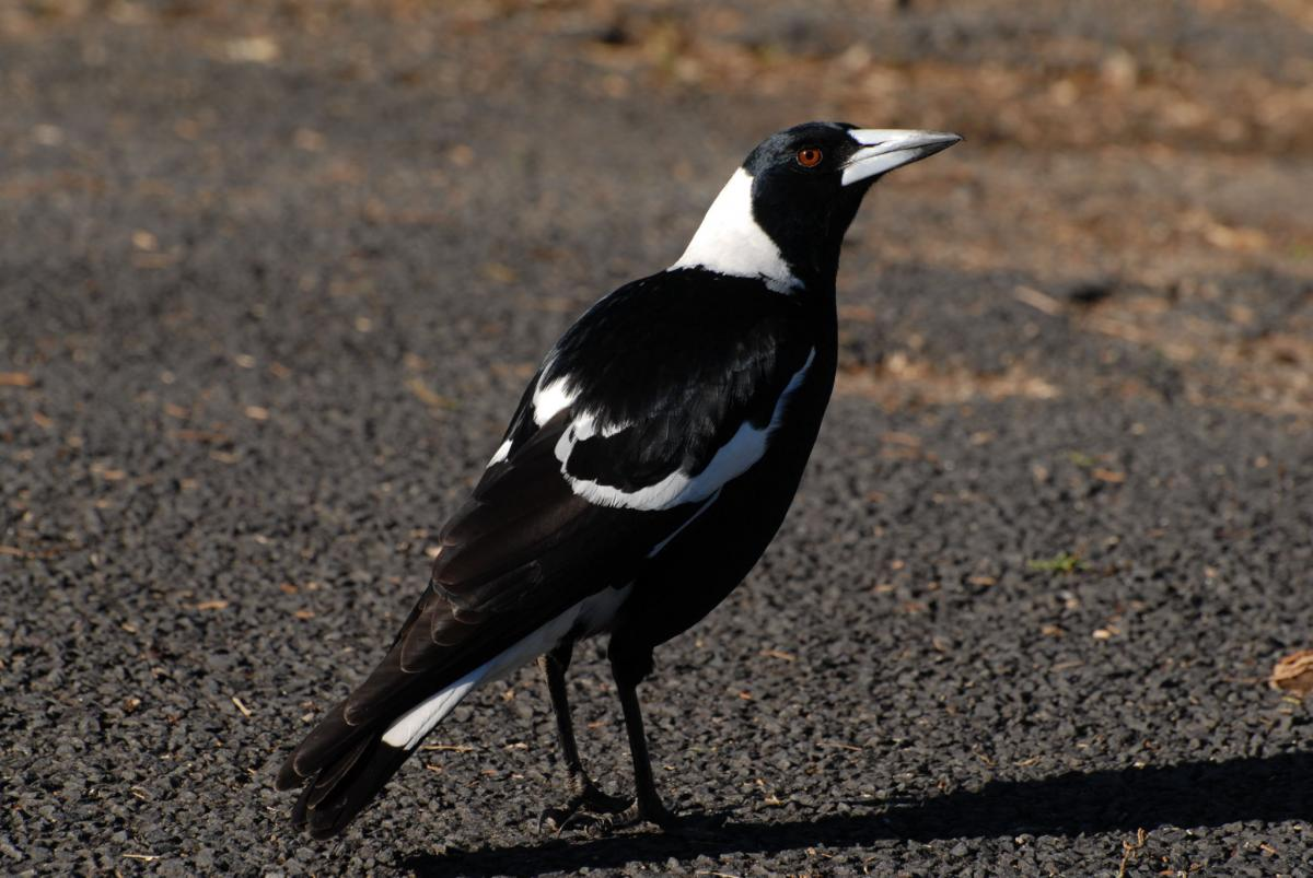 Australian magpie | New Zealand Birds Online - photo#5