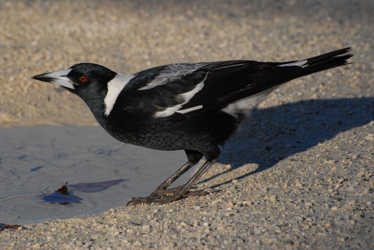 Australian magpie | New Zealand Birds Online - photo#41