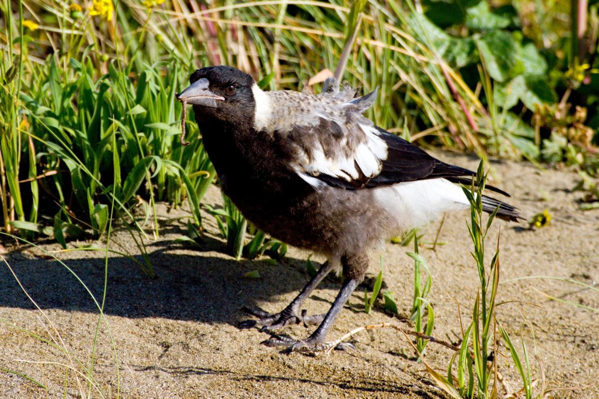 Australian magpie | New Zealand Birds Online - photo#25