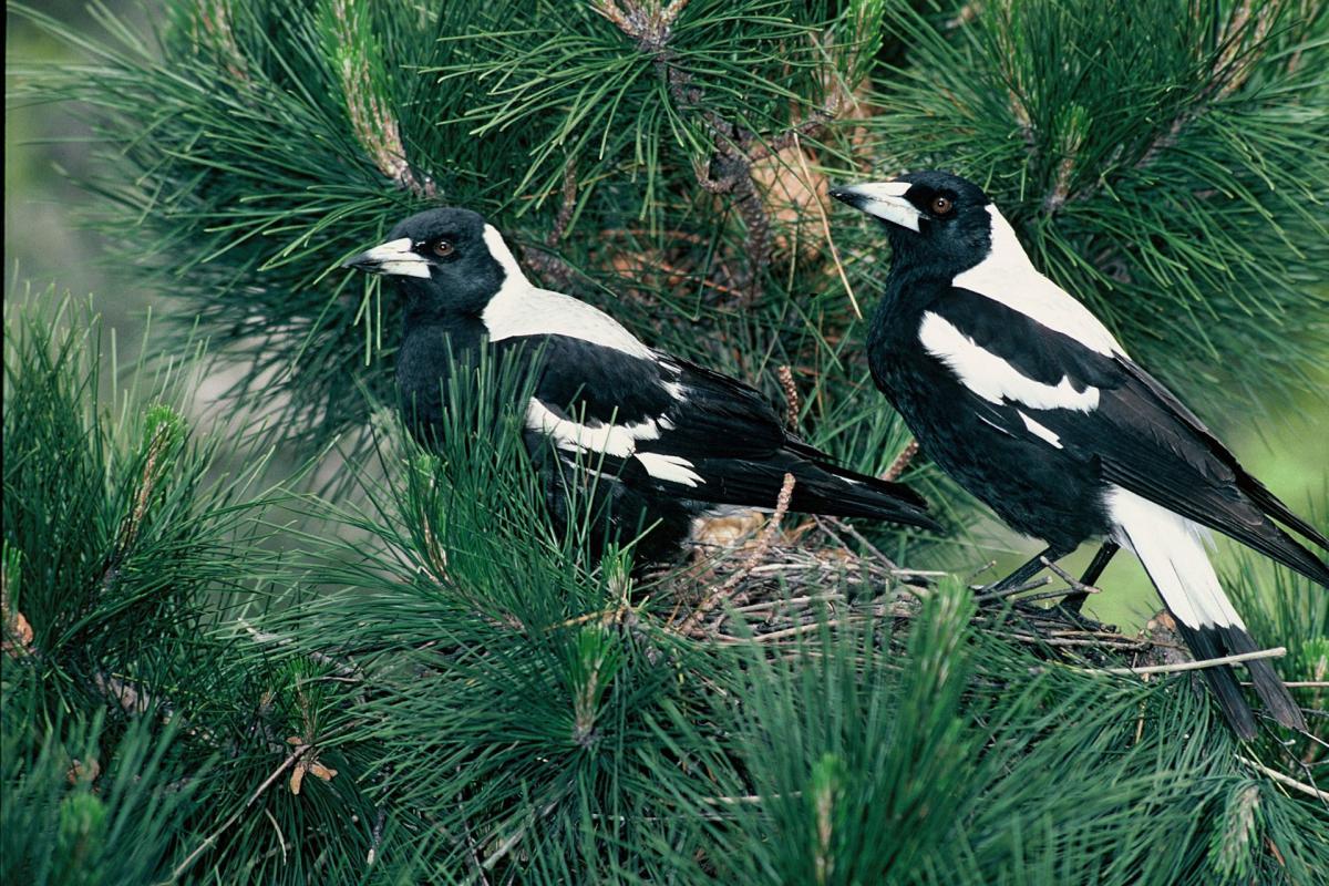 Australian magpie | New Zealand Birds Online - photo#48