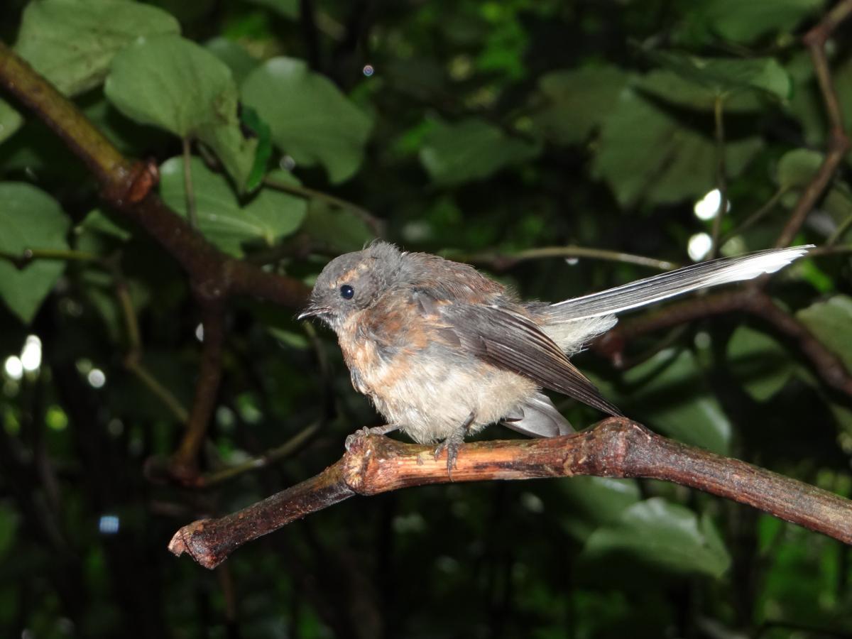 New Zealand fantail   New Zealand Birds Online
