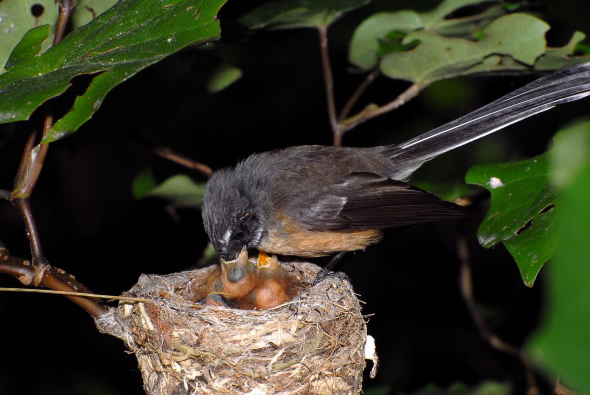 New Zealand fantail | New Zealand Birds Online