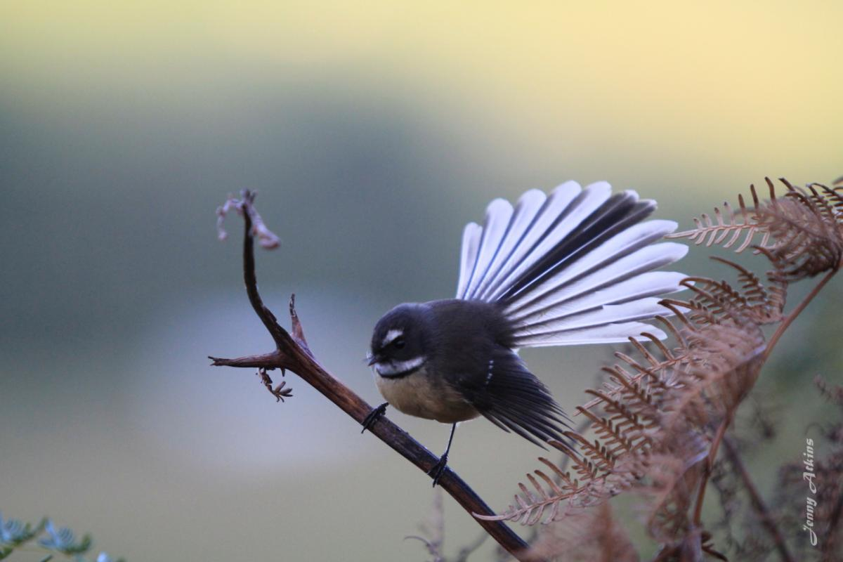 how to make a feather fantail