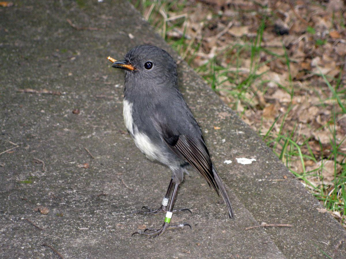 south island robin new zealand birds online