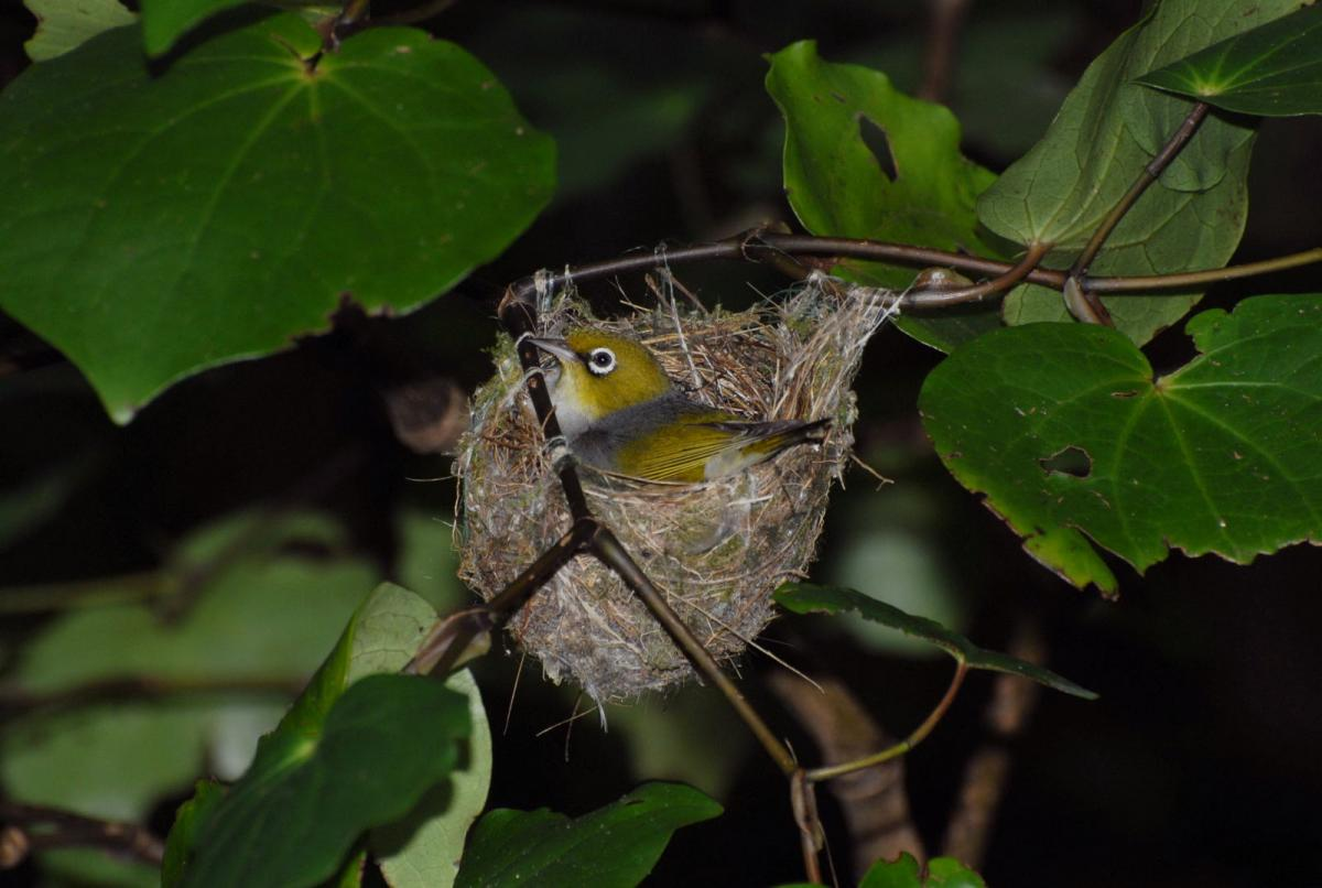 Snakepix furthermore Mind125883 as well Bilder2 further 42188 also Silvereye. on brown ring