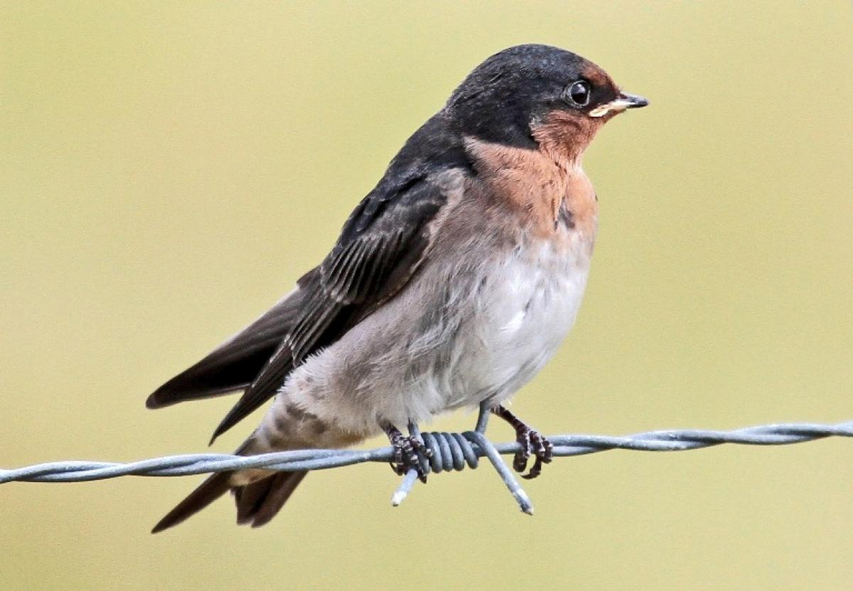 swallow new