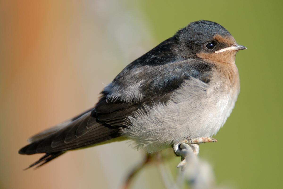 Welcome Swallow New Zealand Birds Online