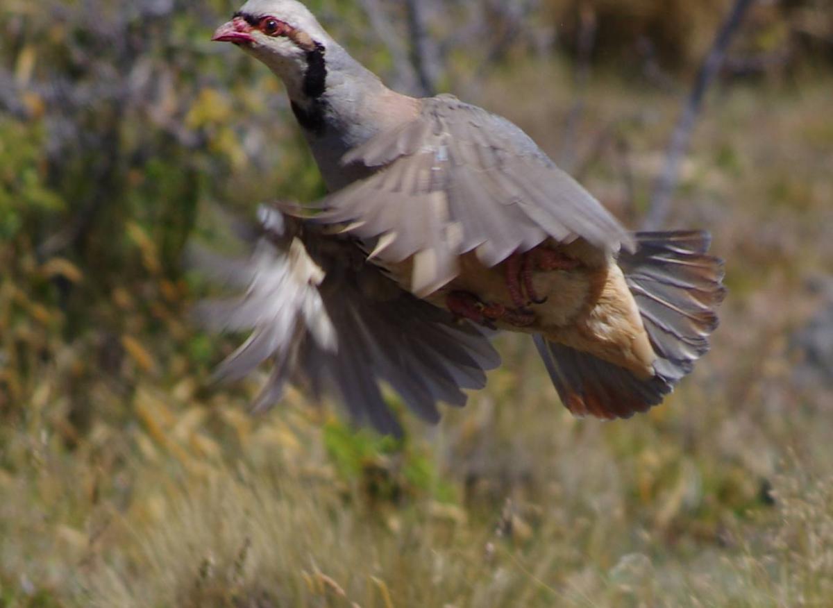 Partridge flying
