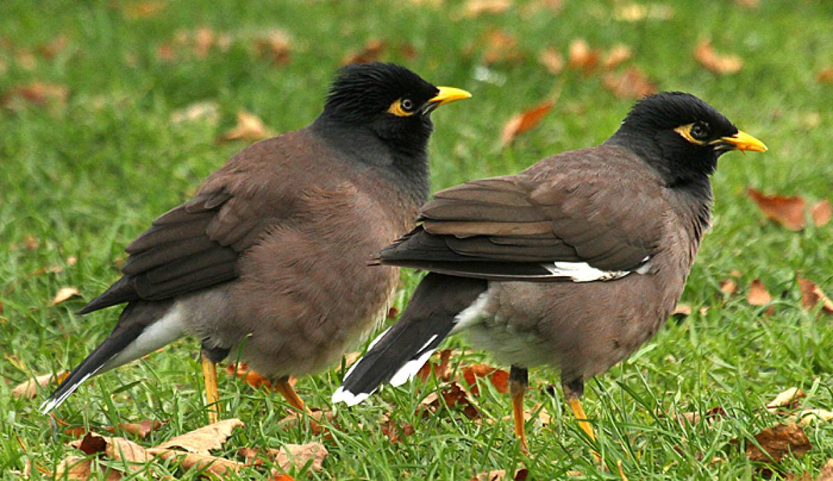 Common myna | New Zealand Birds Online - photo#28