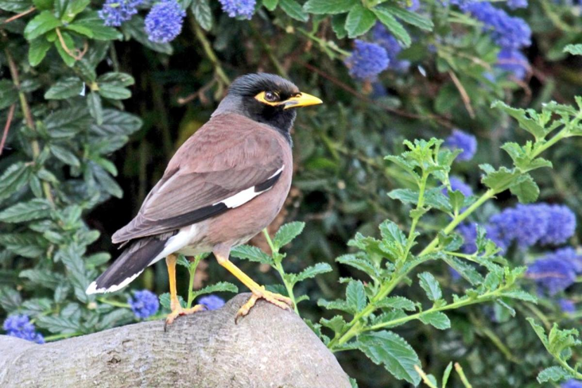 Common myna | New Zealand Birds Online - photo#48