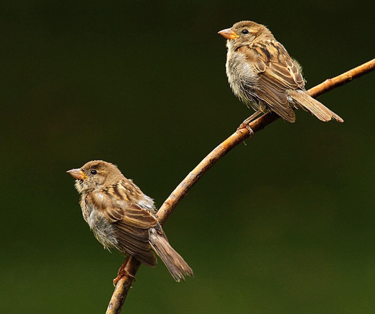 House sparrow | New Zealand Birds Online