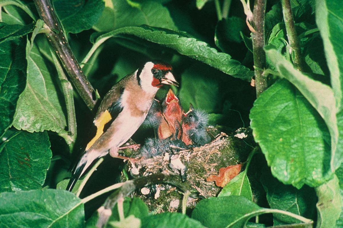 european goldfinch new zealand birds online