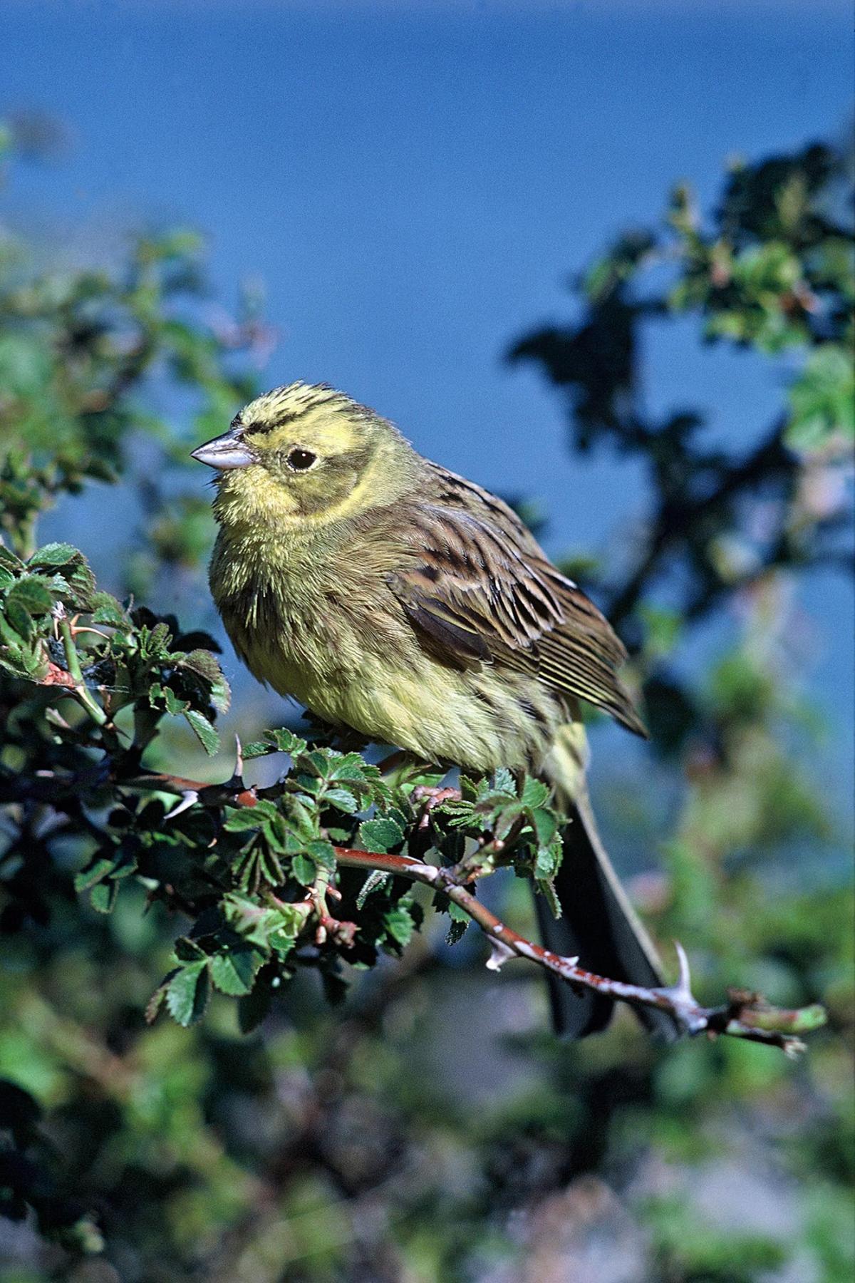 yellowhammer new zealand birds online