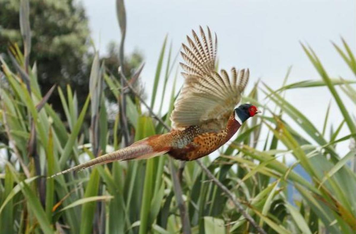 Image result for pheasant pictures