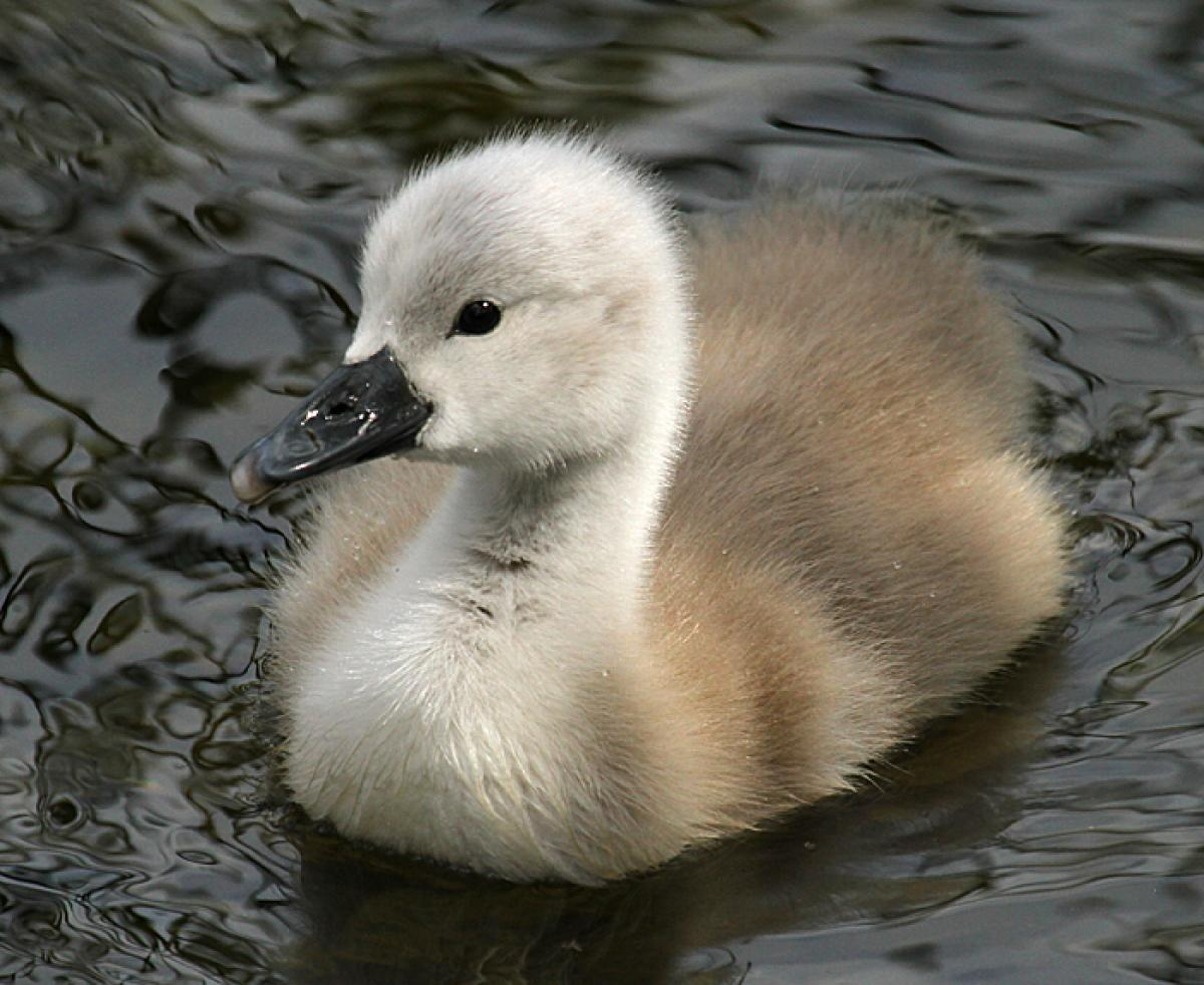 Mute swan. Young cygne...
