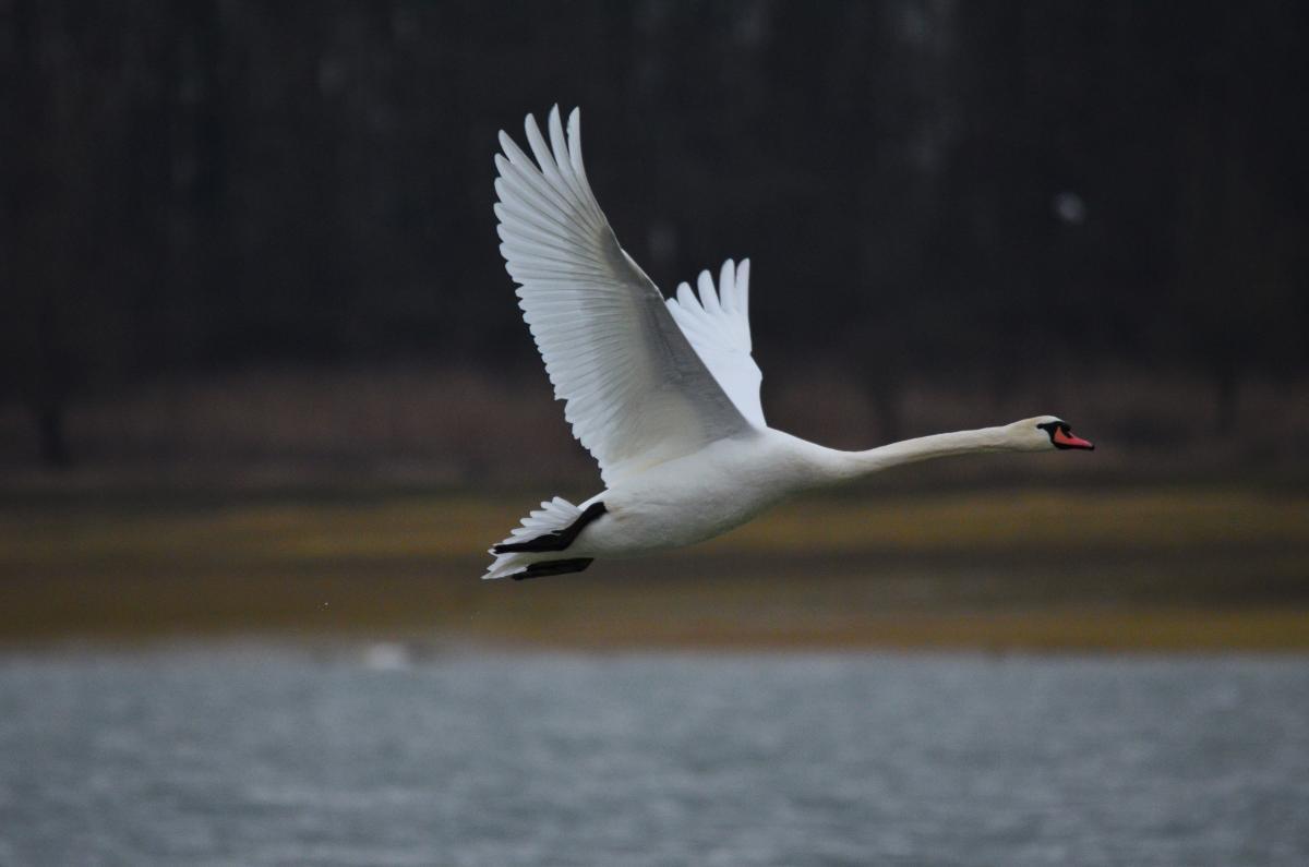 mute swan new zealand birds online