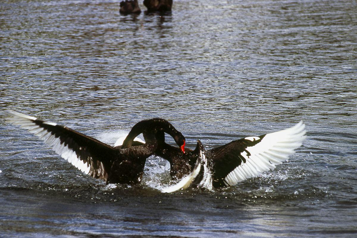 Image  copy  Raewyn   Black swan  Two adults fighting  Lake Taupo  November  1997. Black swan   New Zealand Birds Online