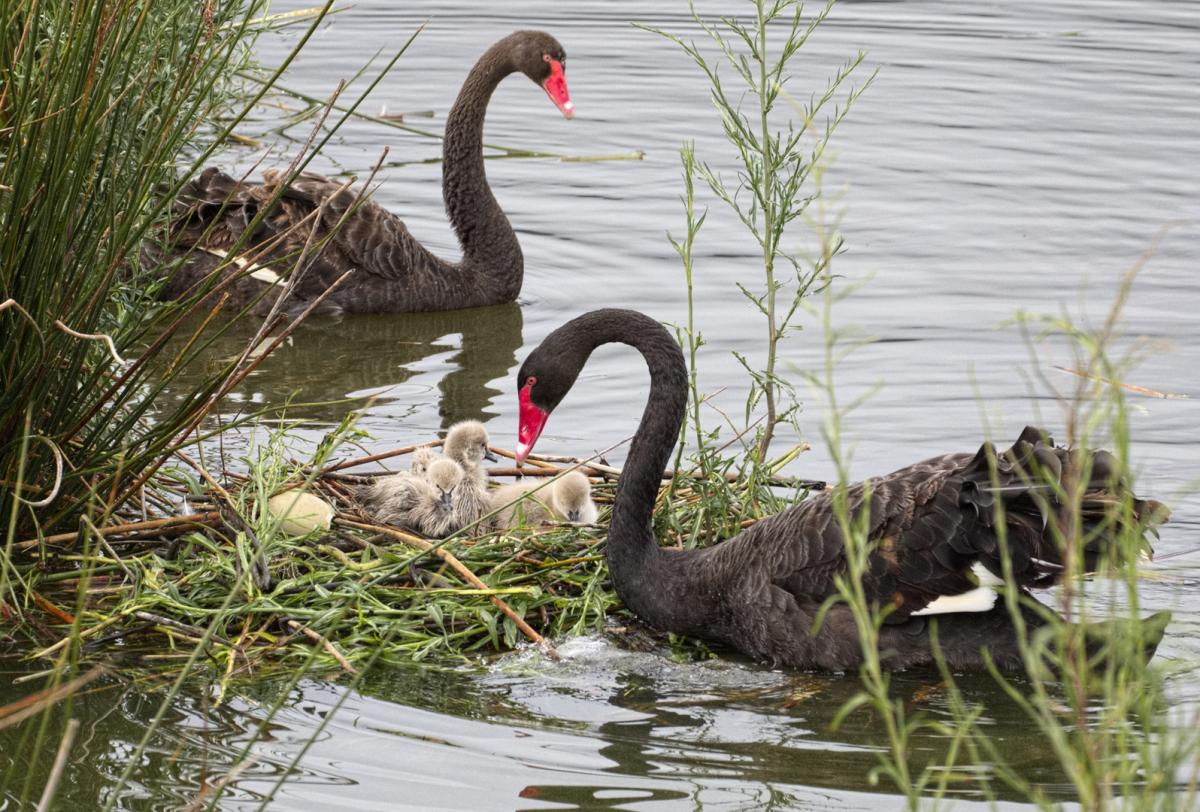 Image  copy    Black swan  Pair near their nest with 4 cygnets  Nelson  sewage ponds  March. Black swan   New Zealand Birds Online