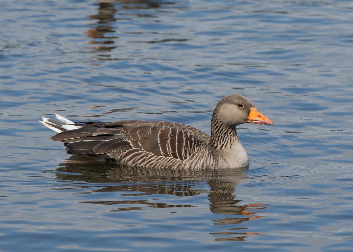 Image result for Gray Goose and Gander