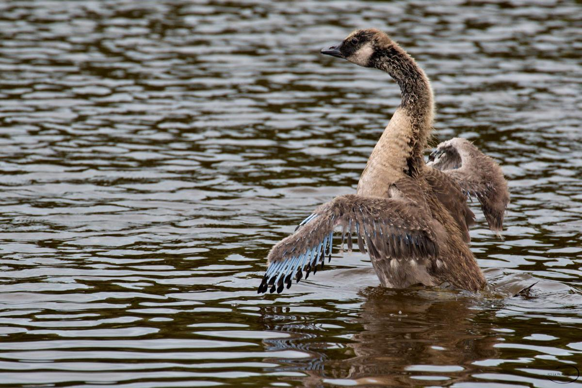 ae030be03abf ... feathers starting  Canada goose. Juvenile beating its wings. Queen  Elizabeth Park