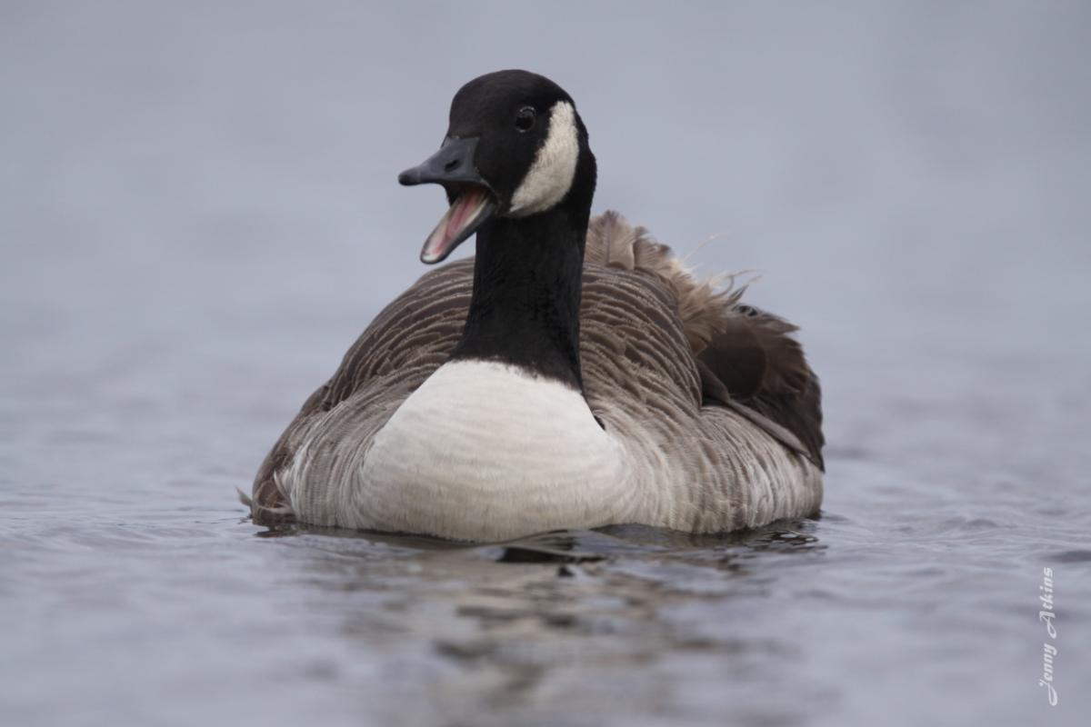 b2dd6e758a8d Image  copy  Canada goose. Front view of adult on water. Lake Taupo.