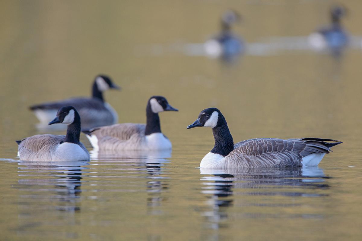 ... December 1959; Canada goose. Group at rest on a lake. Lake Okareka, September 2012.