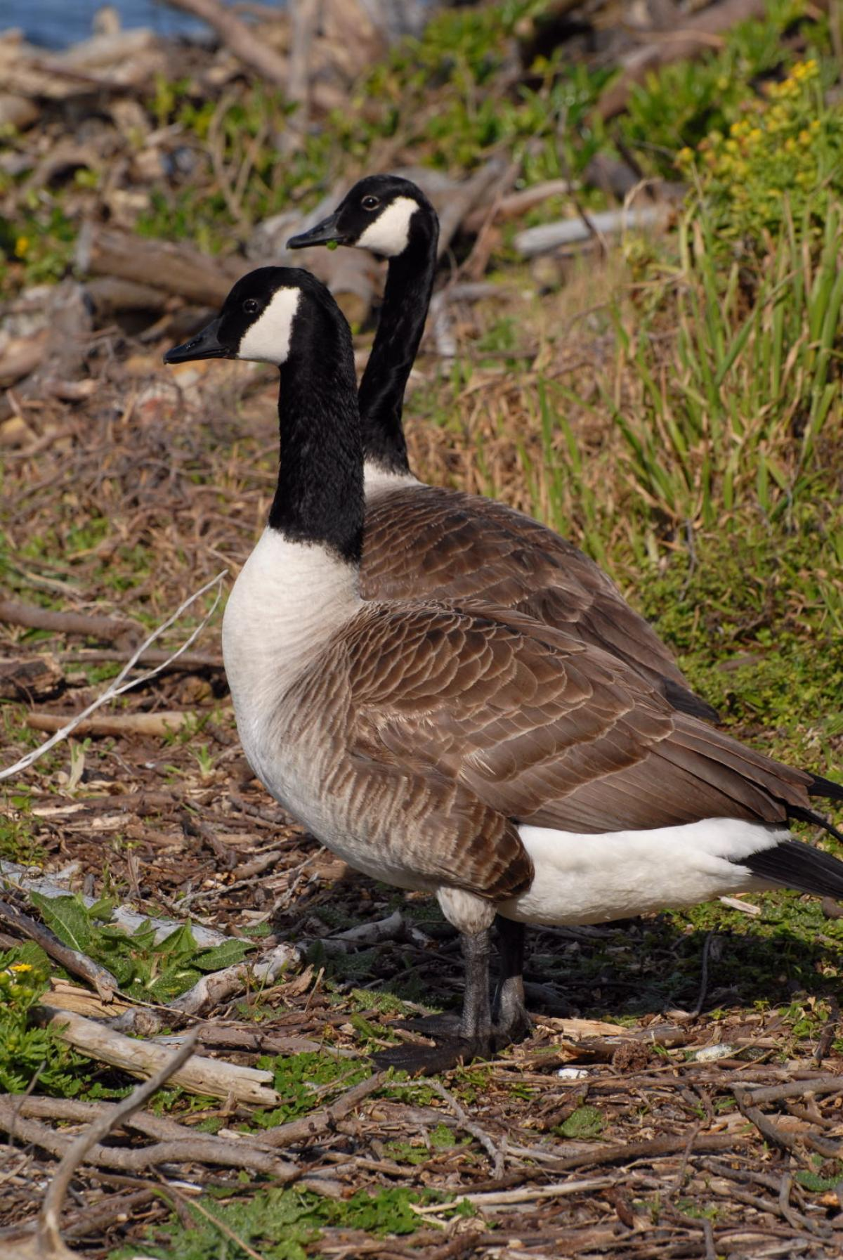 fb57c4e90c19 Canada goose. Adult pair. Wellington