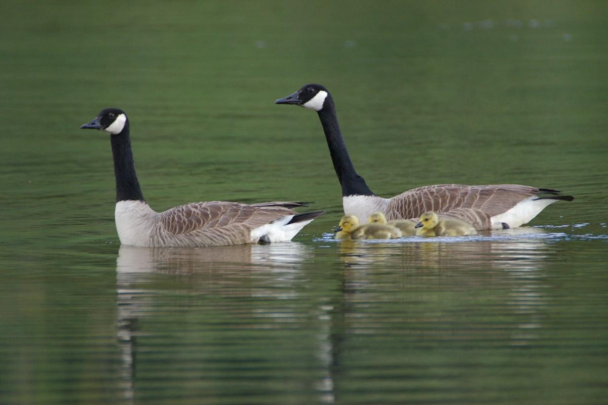 b0f65acb8ba Canada goose. Adult pair with goslings. Lake Okareka. Image © Noel  Knight ...
