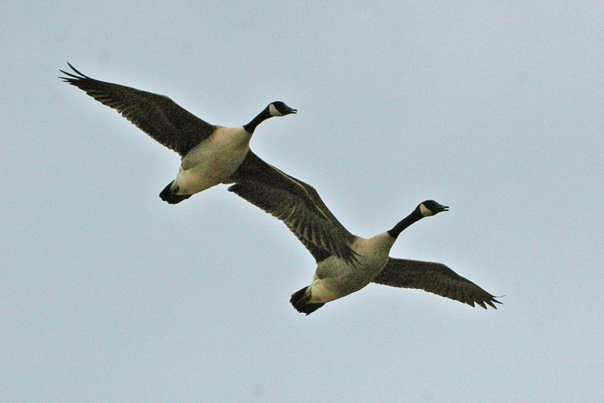 86727ef6e8e7 Canada goose. Ventral view of 2 adults in flight. Mataitai