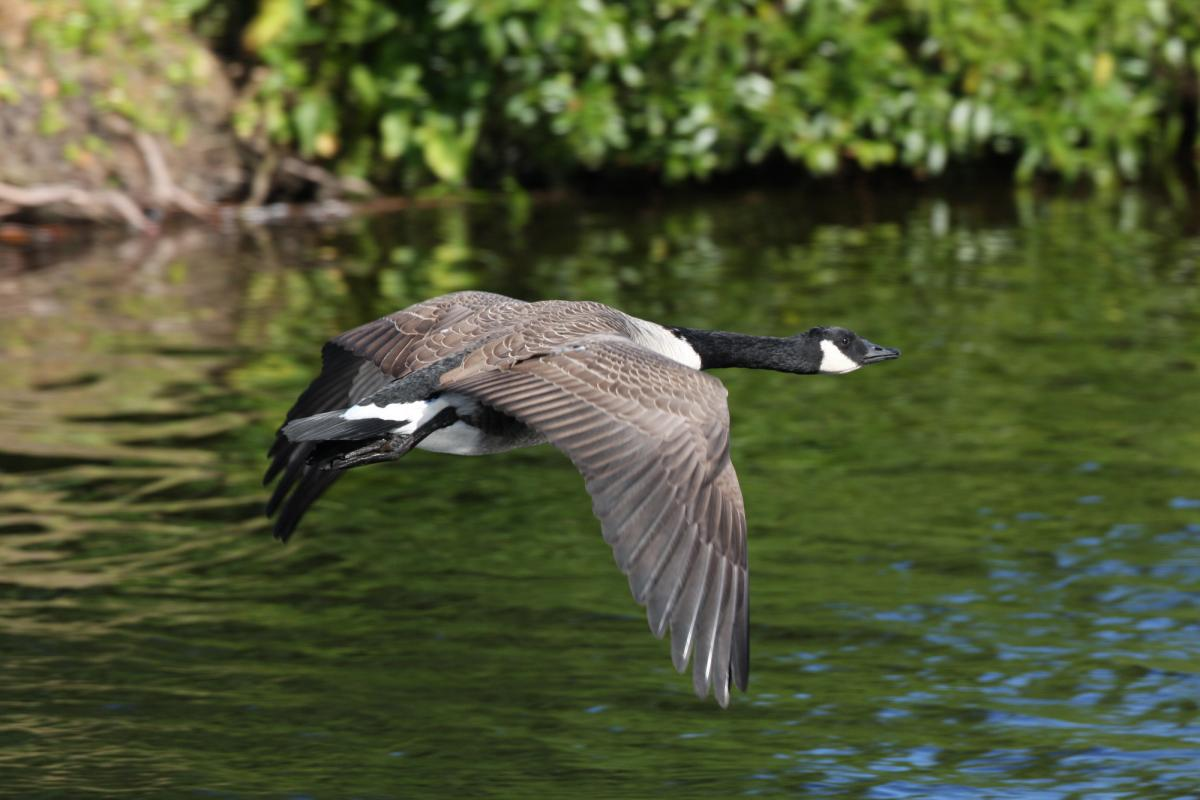 b58a1bdd8cfb Canada goose. Dorsal view of adult in flight. Waikanae Beach lagoon